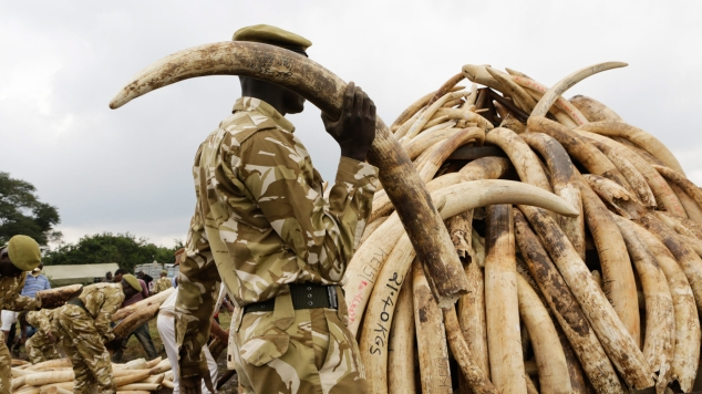 Ivory tusks offloaded at burning site ahead of the historic ivory burning