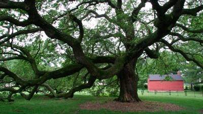 The Emancipation Oak on the campus of Hampton University.